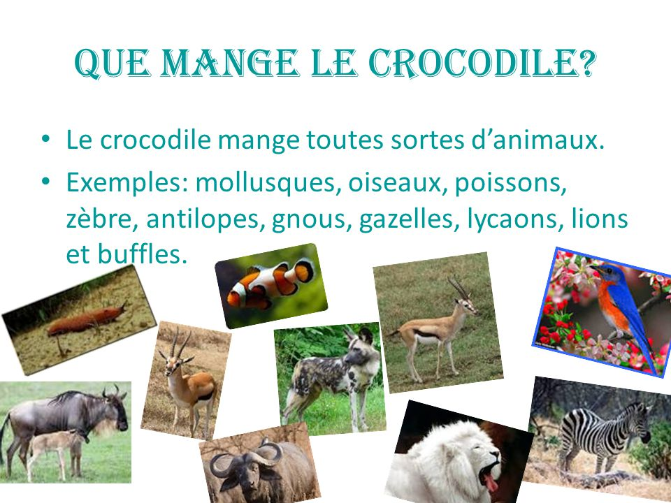Que mange le crocodile.Le crocodile mange toutes sortes d'animaux.