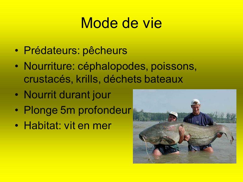 Mode de vie Prédateurs: pêcheurs Nourriture: céphalopodes, poissons, crustacés, krills, déchets bateaux Nourrit durant jour Plonge 5m profondeur Habit