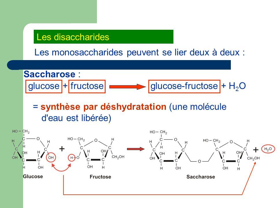 Les disaccharides Les monosaccharides peuvent se lier deux à deux : Saccharose : glucose + fructoseglucose-fructose + H 2 O = synthèse par déshydratation (une molécule d eau est libérée)