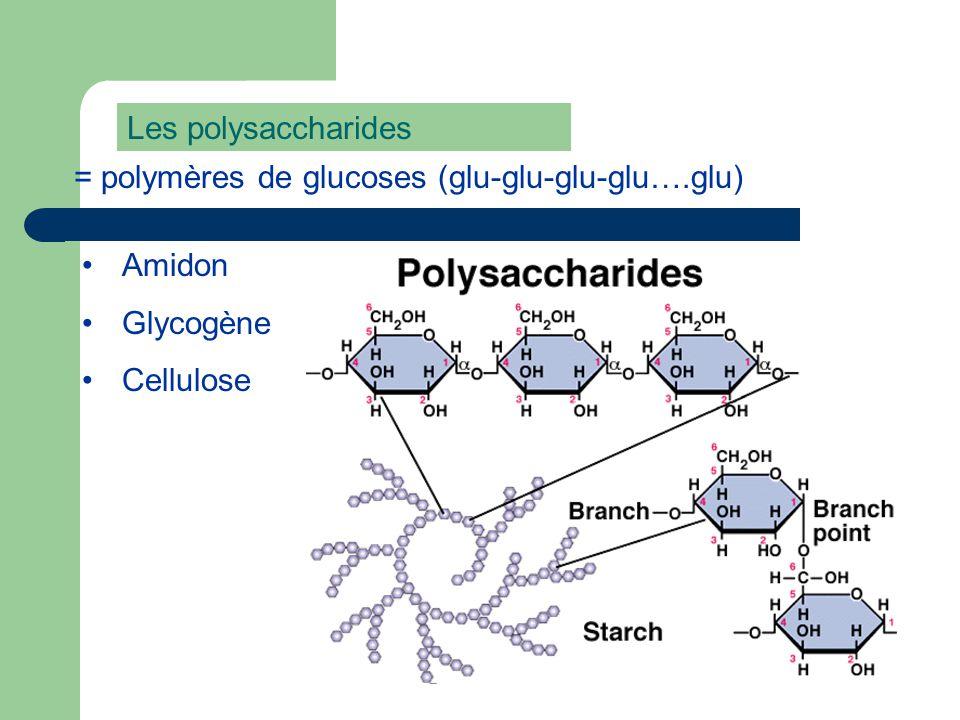 Les polysaccharides = polymères de glucoses (glu-glu-glu-glu….glu) Amidon Glycogène Cellulose