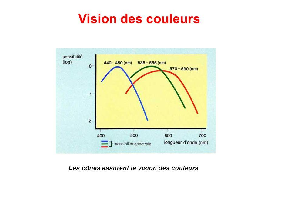 Les cônes assurent la vision des couleurs Vision des couleurs