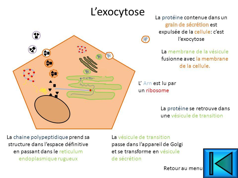 L' Arn est lu par un ribosome La chaine polypeptidique prend sa structure dans l'espace définitive en passant dans le reticulum endoplasmique rugueux La protéine se retrouve dans une vésicule de transition La membrane de la vésicule fusionne avec la membrane de la cellule.