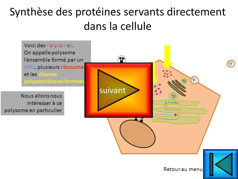 Synthèse des protéines servants directement dans la cellule Voici des Polysomes.