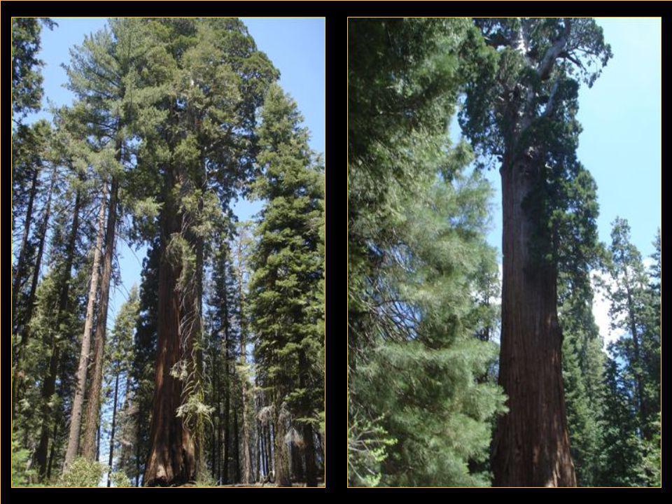 Séquoia Park Voilà un endroit que l'on aime au sortir des vallées du feu et de la mort car nous sommes en altitude et sous le couvert des géants du coin qu sont ces énormes séquoias de plus de 90 m avec des troncs qui à la base nécessite trente paires de bras écartés pour en faire le tour.