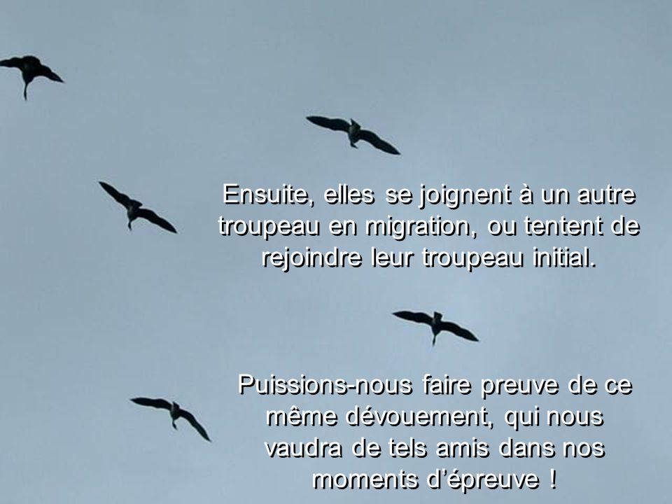Ensuite, elles se joignent à un autre troupeau en migration, ou tentent de rejoindre leur troupeau initial.