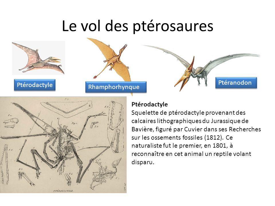 Ptérodactyle Squelette de ptérodactyle provenant des calcaires lithographiques du Jurassique de Bavière, figuré par Cuvier dans ses Recherches sur les ossements fossiles (1812).