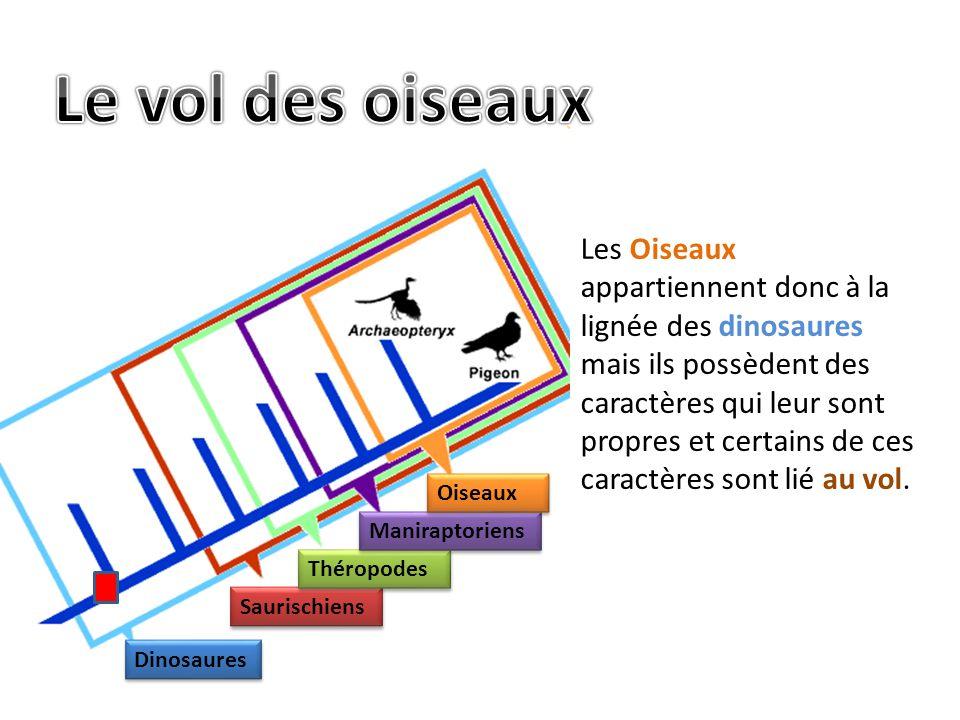Les Oiseaux appartiennent donc à la lignée des dinosaures mais ils possèdent des caractères qui leur sont propres et certains de ces caractères sont lié au vol.