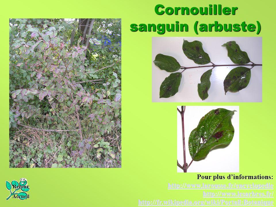 Cornouiller sanguin (arbuste) Retour Accueil Pour plus d'informations: http://www.larousse.fr/encyclopedie http://www.lesarbres.fr/ http://fr.wikipedi