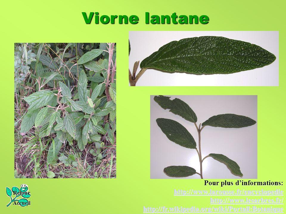 Viorne lantane Retour Accueil Pour plus d'informations: http://www.larousse.fr/encyclopedie http://www.lesarbres.fr/ http://fr.wikipedia.org/wiki/Port