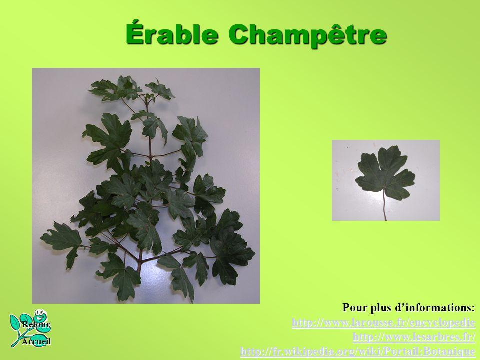 Érable Champêtre Retour Accueil Pour plus d'informations: http://www.larousse.fr/encyclopedie http://www.lesarbres.fr/ http://fr.wikipedia.org/wiki/Po