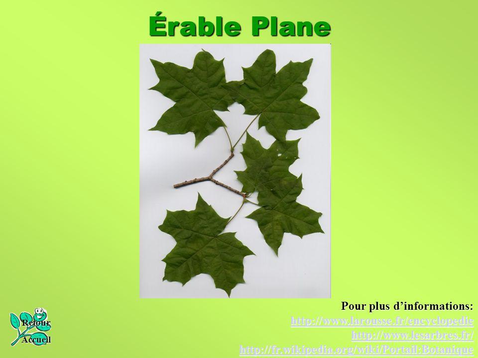 Érable Plane Retour Accueil Pour plus d'informations: http://www.larousse.fr/encyclopedie http://www.lesarbres.fr/ http://fr.wikipedia.org/wiki/Portai