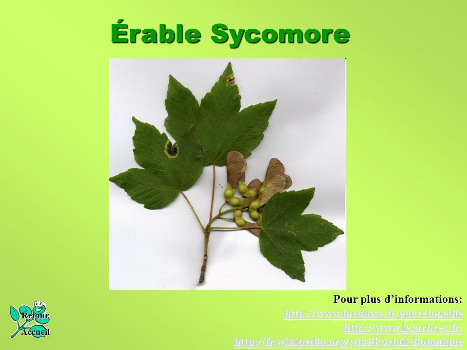 Érable Sycomore Retour Accueil Pour plus d'informations: http://www.larousse.fr/encyclopedie http://www.lesarbres.fr/ http://fr.wikipedia.org/wiki/Por