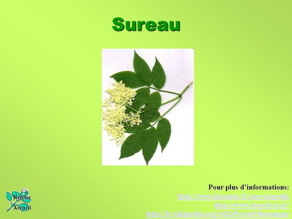 Sureau Retour Accueil Pour plus d'informations: http://www.larousse.fr/encyclopedie http://www.lesarbres.fr/ http://fr.wikipedia.org/wiki/Portail:Bota