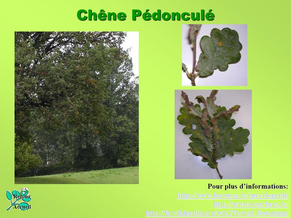 Chêne Pédonculé Retour Accueil Pour plus d'informations: http://www.larousse.fr/encyclopedie http://www.lesarbres.fr/ http://fr.wikipedia.org/wiki/Por