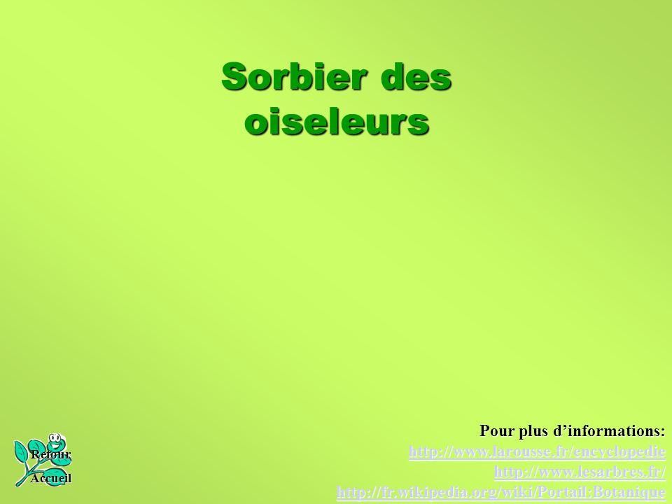 Sorbier des oiseleurs Retour Accueil Pour plus d'informations: http://www.larousse.fr/encyclopedie http://www.lesarbres.fr/ http://fr.wikipedia.org/wi