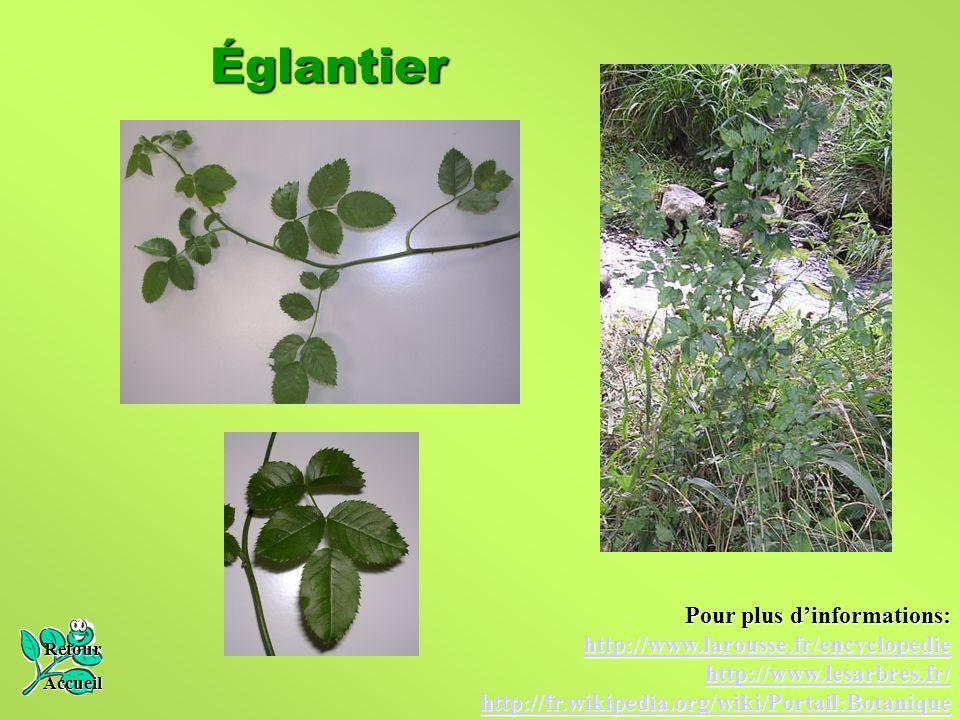 Églantier Retour Accueil Pour plus d'informations: http://www.larousse.fr/encyclopedie http://www.lesarbres.fr/ http://fr.wikipedia.org/wiki/Portail:B