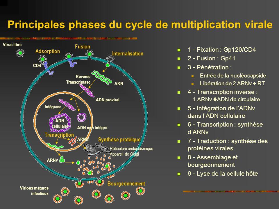 Principales phases du cycle de multiplication virale 1 - Fixation : Gp120/CD4 2 - Fusion : Gp41 3 - Pénétration : Entrée de la nucléocapside Libératio