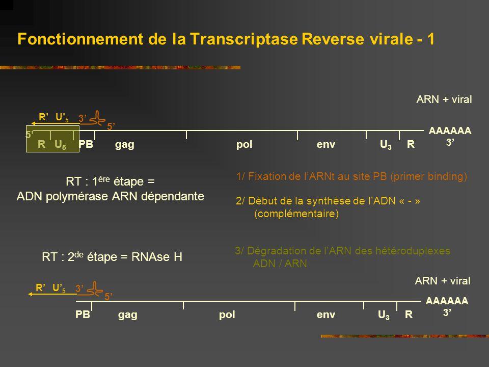 Fonctionnement de la Transcriptase Reverse virale - 1 1/ Fixation de l'ARNt au site PB (primer binding) R U 5 PB gag pol env U 3 R 5' AAAAAA 3' 5' 3'