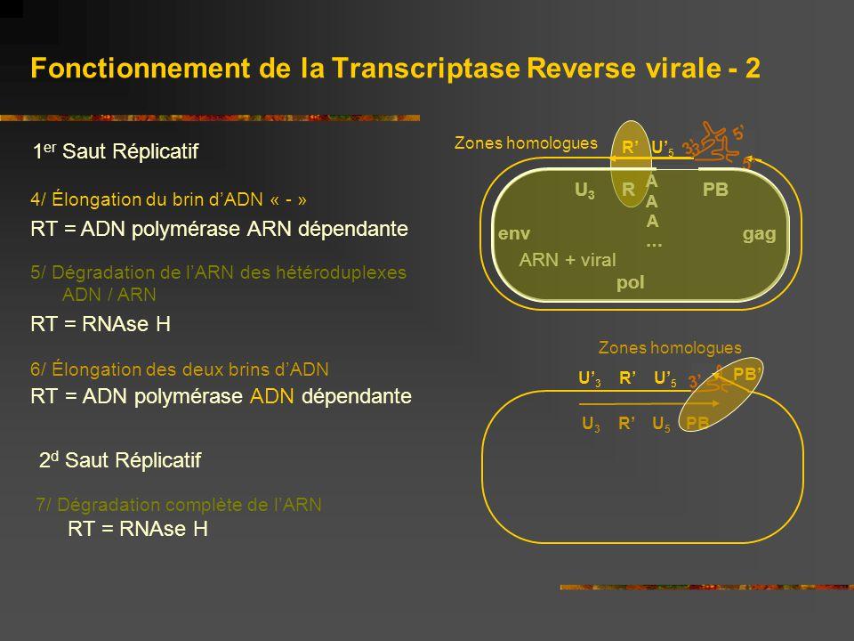 Fonctionnement de la Transcriptase Reverse virale - 2 4/ Élongation du brin d'ADN « - » RT = ADN polymérase ARN dépendante 1 er Saut Réplicatif 5/ Dég