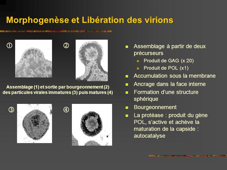 Morphogenèse et Libération des virions Assemblage à partir de deux précurseurs Produit de GAG (x 20) Produit de POL (x1) Accumulation sous la membrane