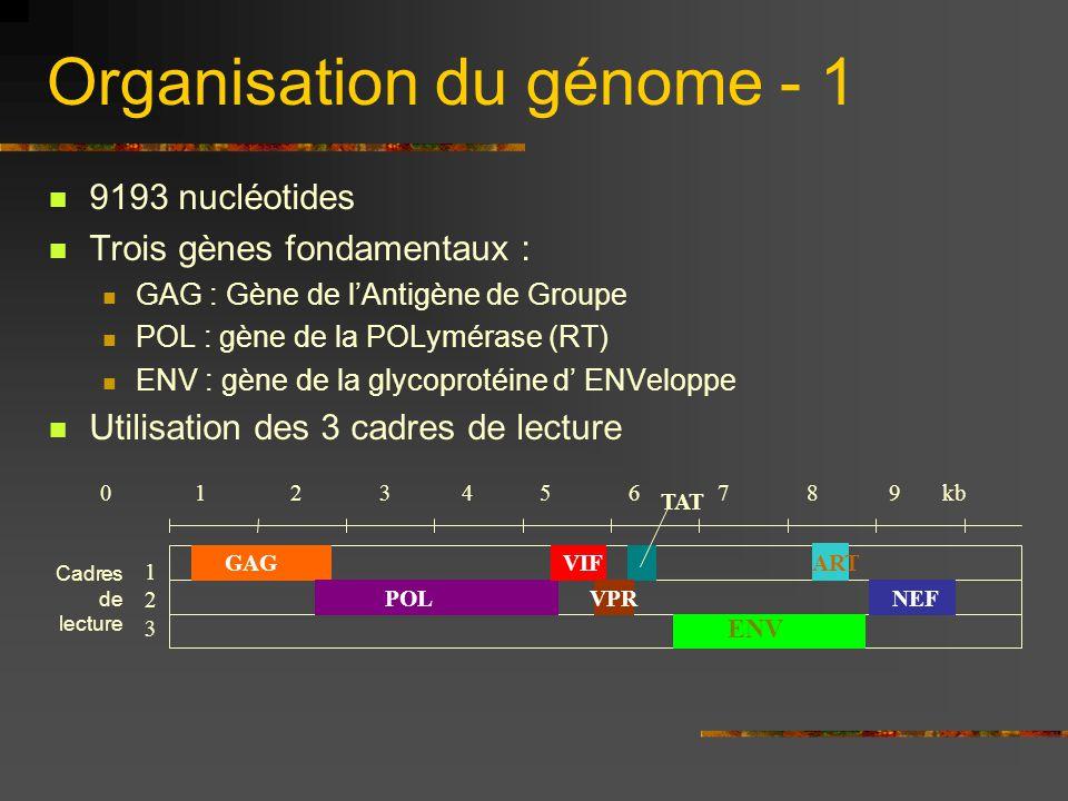 Organisation du génome - 1 9193 nucléotides Trois gènes fondamentaux : GAG : Gène de l'Antigène de Groupe POL : gène de la POLymérase (RT) ENV : gène