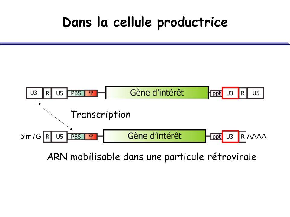 Dans la cellule productrice SA ARN mobilisable dans une particule rétrovirale Transcription 5'm7G AAAA SA