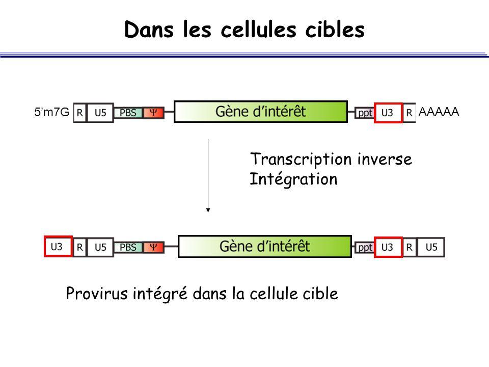 Dans les cellules cibles SA Transcription inverse Intégration Provirus intégré dans la cellule cible 5'm7G AAAAA