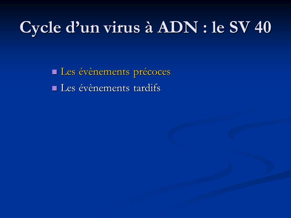 La phase tardive Débute dès le début de la réplication Débute dès le début de la réplication A partir du brin opposé de celui utilisé lors de la phase précoce A partir du brin opposé de celui utilisé lors de la phase précoce Deux ARNm : issus de deux cadres de lecture ≠ Deux ARNm : issus de deux cadres de lecture ≠ 16S : VP1 16S : VP1 19S : VP2 & VP3 / traduction à partir de points différents 19S : VP2 & VP3 / traduction à partir de points différents Modifications post-traductionnelles : phosphorylation & glycosylation (VP1) Modifications post-traductionnelles : phosphorylation & glycosylation (VP1)