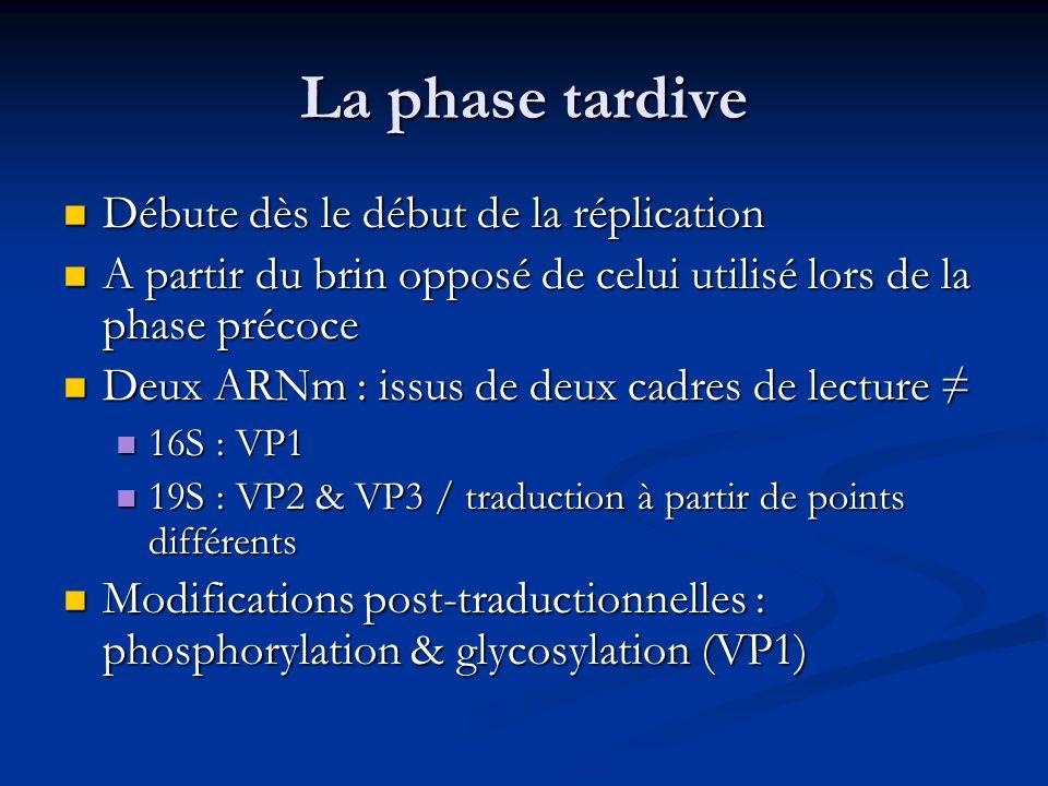 La phase tardive Débute dès le début de la réplication Débute dès le début de la réplication A partir du brin opposé de celui utilisé lors de la phase