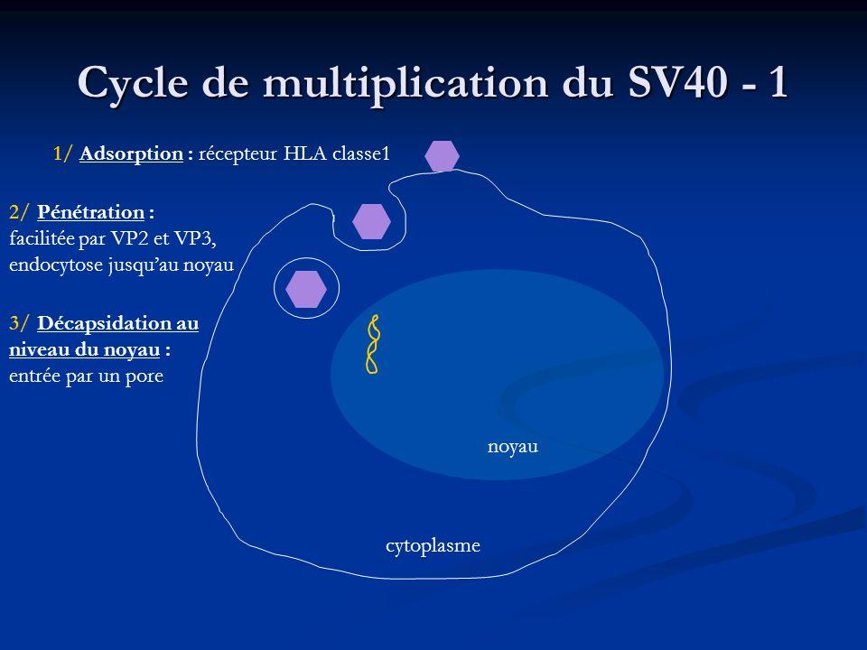 Cycle de multiplication du SV40 - 6 1/ Adsorption 2/ Pénétration 3/ Décapsidation au niveau du noyau 5/ Réplication 7/ Assemblage 4/ Phase précoce : Transcription Traduction : T & t 6/ Phase tardive : Transcription Traduction : protéines de capside