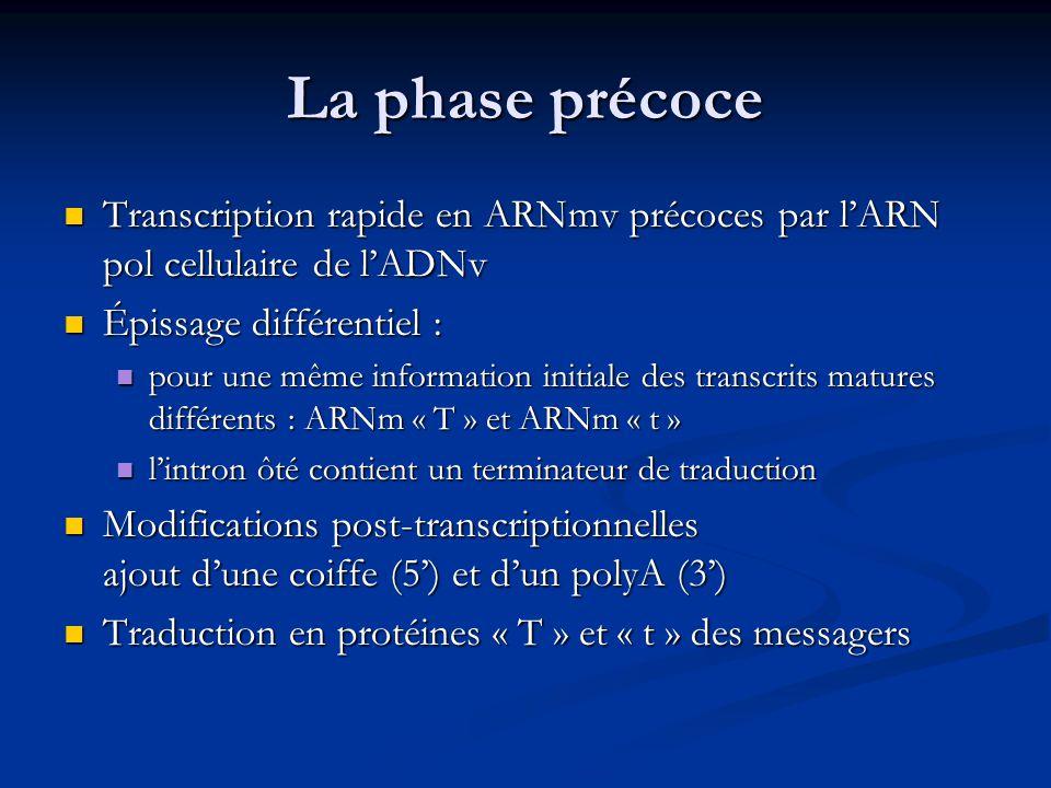 Cycle de multiplication du SV40 - 2 1/ Adsorption 2/ Pénétration 3/ Décapsidation au niveau du noyau 4/ Phase précoce : Transcription des ARNmv précoces par ARN pol cellulaire Traduction des Antigènes « T » et « t »