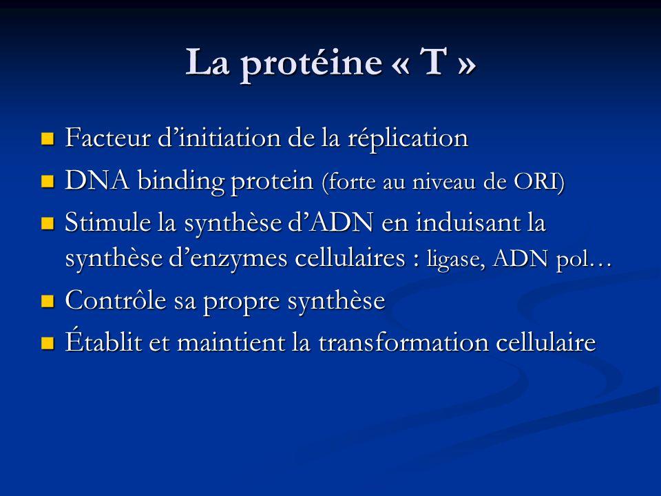 La protéine « t » Stimule la transcription du promoteur tardif Stimule la transcription du promoteur tardif Dissolution des câbles d'actine et Modification du cytosquelette cellulaire Dissolution des câbles d'actine et Modification du cytosquelette cellulaire