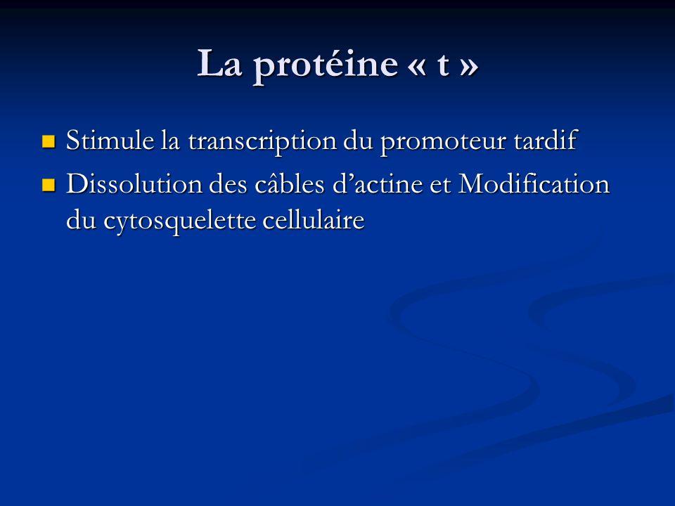 La protéine « t » Stimule la transcription du promoteur tardif Stimule la transcription du promoteur tardif Dissolution des câbles d'actine et Modific