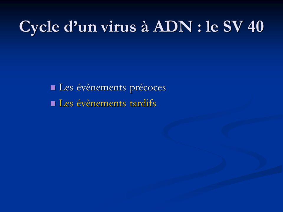 Cycle d'un virus à ADN : le SV 40 Les évènements précoces Les évènements précoces Les évènements tardifs Les évènements tardifs