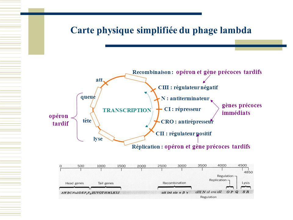 Carte physique simplifiée du phage lambda CIII : régulateur négatif CI : répresseur N : antiterminateur CRO : antirépresseur CII : régulateur positif
