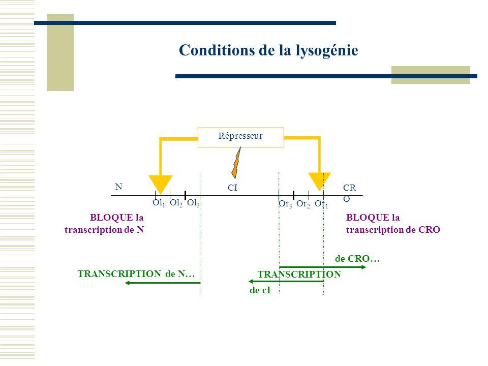 Entrée dans le cycle lysogène CICRO CII TRANSCRIPTION de « cro » + CI… Répresseur Pre pCII ARN pol TRANSCRIPTION de N, CIII… TRANSCRIPTION de cro + CII… CIIIN