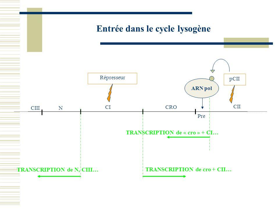 Entrée dans le cycle lytique CICRO N Ol 1 Ol 2 Ol 3 Or 3 Or 2 Or 1 TRANSCRIPTION AUTORISE la transcription de CRO Protéines CRO AUTORISE la transcription de N N'AUTORISE PAS la transcription de CI