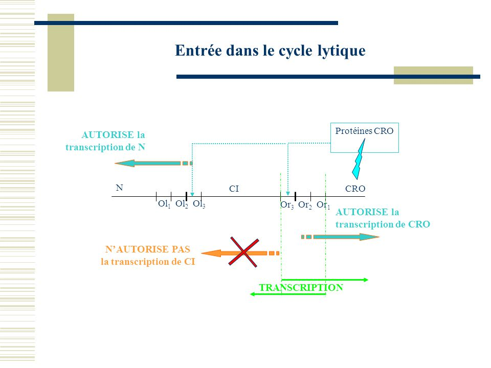 Entrée dans le cycle lytique CICRO N Ol 1 Ol 2 Ol 3 Or 3 Or 2 Or 1 TRANSCRIPTION AUTORISE la transcription de CRO Protéines CRO AUTORISE la transcript
