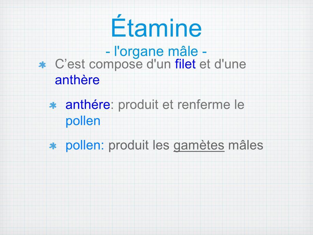 Étamine - l'organe mâle - C'est compose d'un filet et d'une anthère anthére: produit et renferme le pollen pollen: produit les gamètes mâles