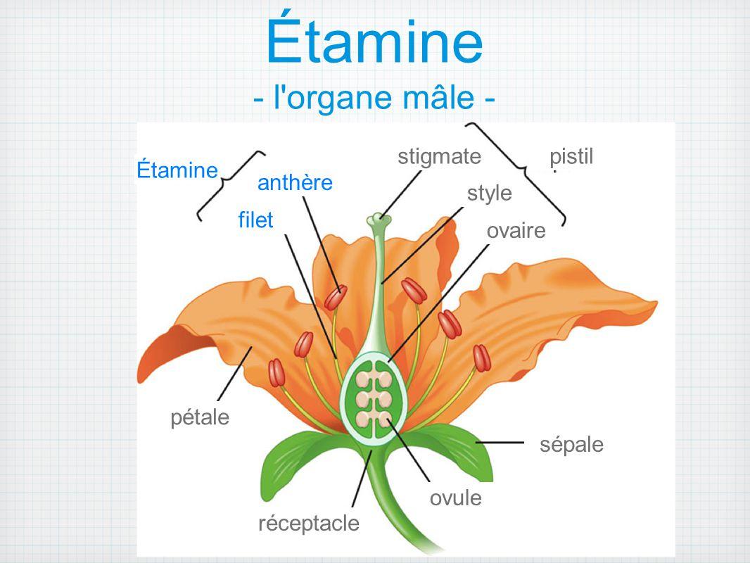 Pistil - l organe femelle - C'est compose de: l ovaire qui abrite les ovules - gamètes femelle le style - colonne qui relie l ovaire aux stigmates.