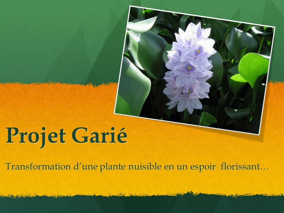 Projet Garié Transformation d'une plante nuisible en un espoir florissant…