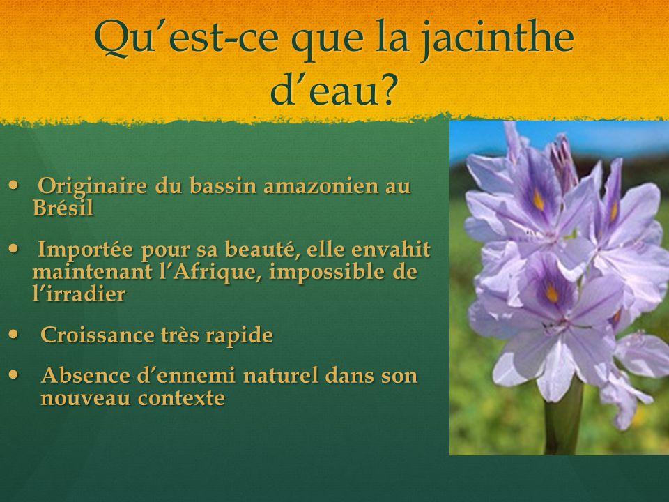 Qu'est-ce que la jacinthe d'eau? Originaire du bassin amazonien au Brésil Originaire du bassin amazonien au Brésil Importée pour sa beauté, elle envah