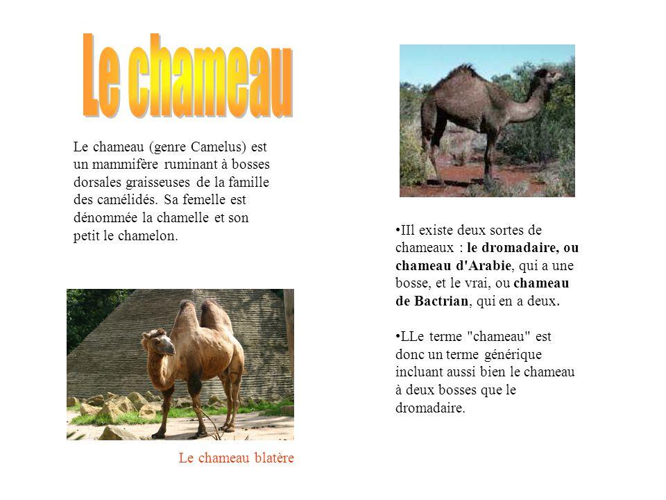 Le chameau (genre Camelus) est un mammifère ruminant à bosses dorsales graisseuses de la famille des camélidés.