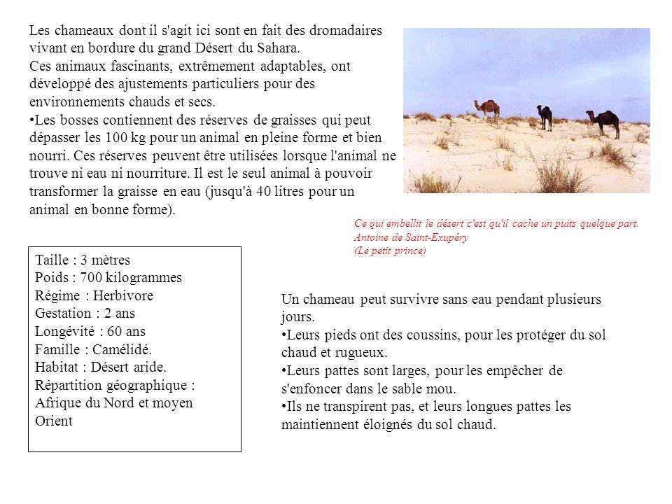 Les chameaux dont il s agit ici sont en fait des dromadaires vivant en bordure du grand Désert du Sahara.