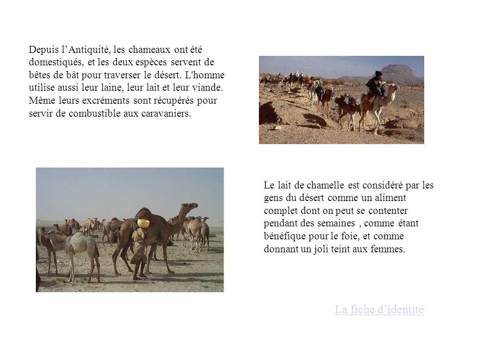 Depuis l'Antiquité, les chameaux ont été domestiqués, et les deux espèces servent de bêtes de bât pour traverser le désert.