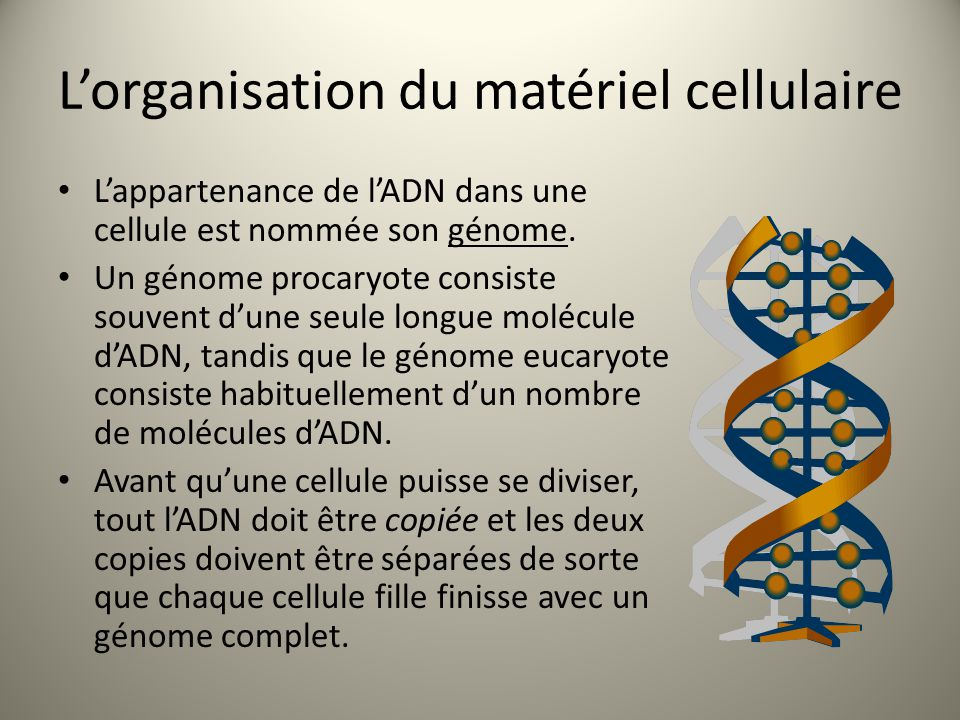 L'organisation du matériel cellulaire L'appartenance de l'ADN dans une cellule est nommée son génome. Un génome procaryote consiste souvent d'une seul