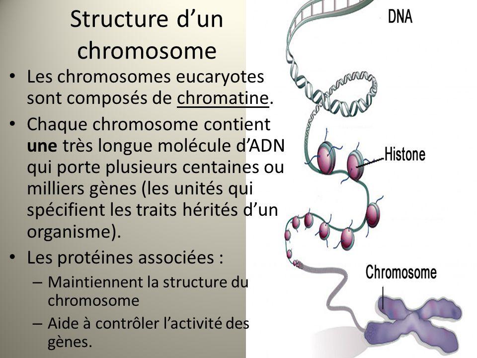 Structure d'un chromosome Les chromosomes eucaryotes sont composés de chromatine.