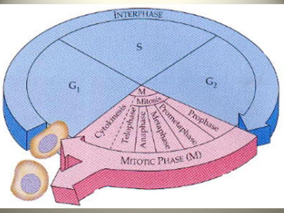 Mitose de la cellule animale La mitose d'une cellule animale inclut les stades suivants (la cellule étant préparée lors du phase G2 de l'interphase): – Prophase – Prométaphase – Métaphase – Anaphase – Télophase