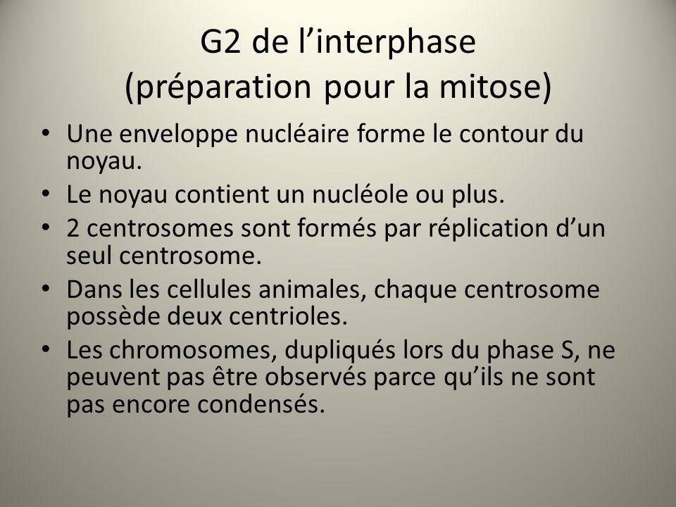 G2 de l'interphase (préparation pour la mitose) Une enveloppe nucléaire forme le contour du noyau.