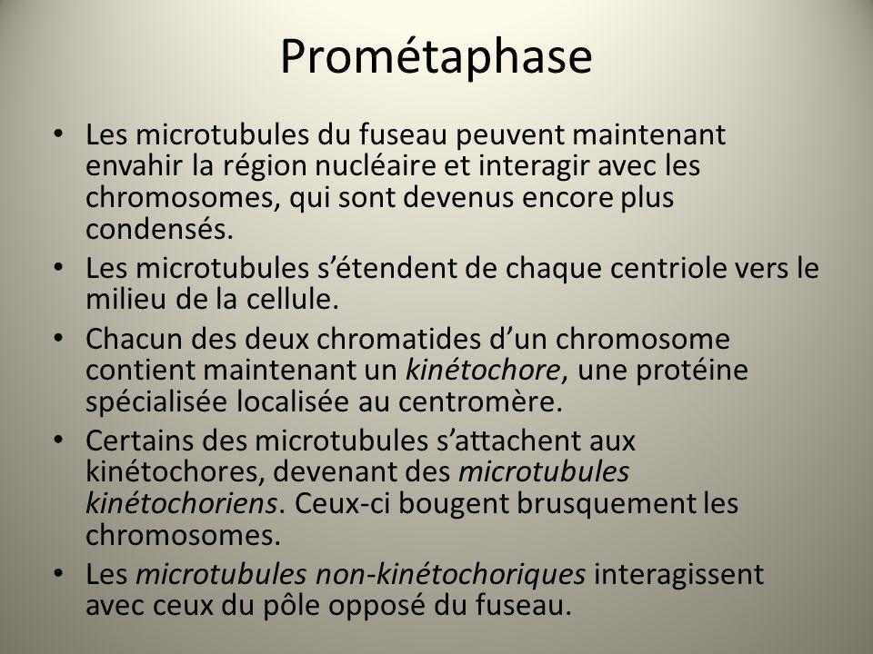 Prométaphase Les microtubules du fuseau peuvent maintenant envahir la région nucléaire et interagir avec les chromosomes, qui sont devenus encore plus condensés.